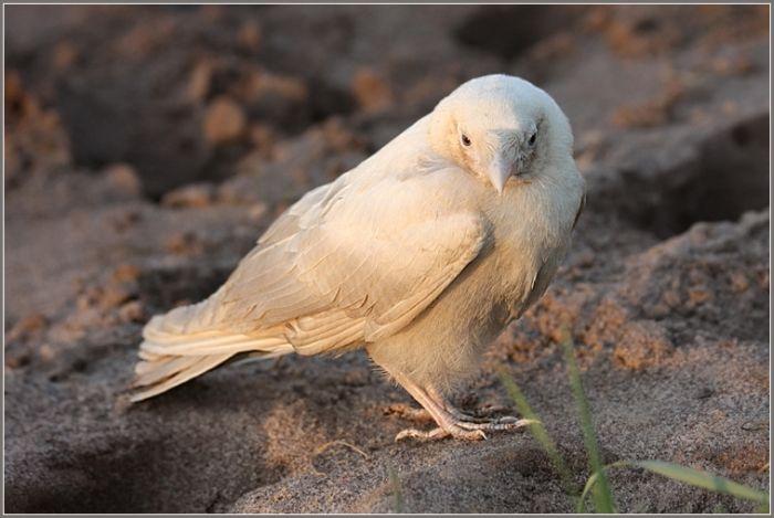 Albino crow - photo#52