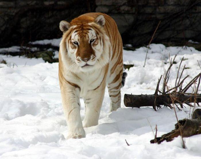 Goldene Tiger