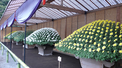 Chrysanthemums in Shinjuku,Tokyo, Japan. 5 enormous plants with hundreds of flowers. Ozukuri style