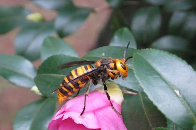 Large orange hornet sitting on Camelia