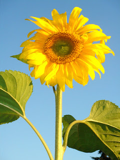 Tarahumara sunflower