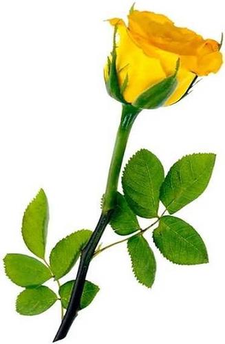 2387c8597b413 Red roses proclaim
