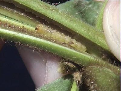rice stem borer