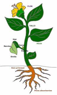 Lasplantas y sus partes cuales son las partes de las for Todas las plantas son ornamentales