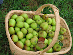 Cider Apple Harvest