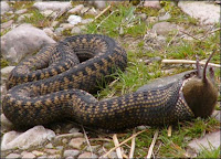 Adder eating mouse.