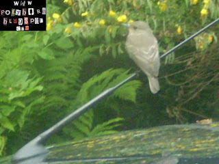Photo of Spotted Flycatcher on my car aerial