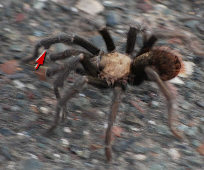 Bp Near Me >> Dipper Ranch: Tarantula Hairs