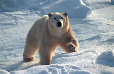 Argumentative essay on polar bears