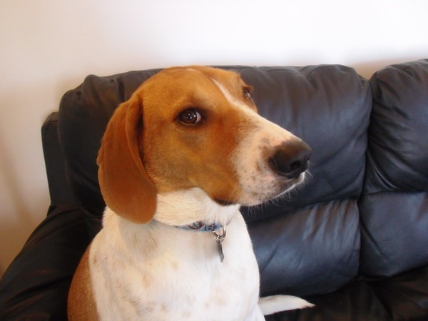 Dog Breed Gallery American Foxhound Breed Of Dogs