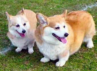 Husky Corgi Dog Breeds
