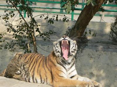Tiger Jaws