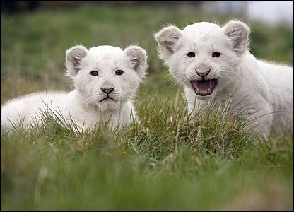 [Cute+White+Lion+Cubs.jpg]