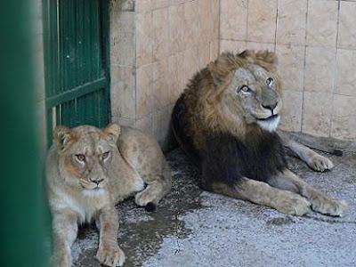 Happy Lions