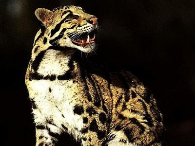 Clouded Leopard Teeth