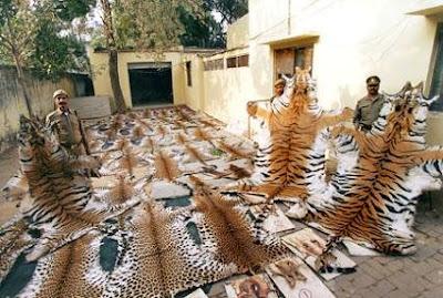 Indian Tiger skins
