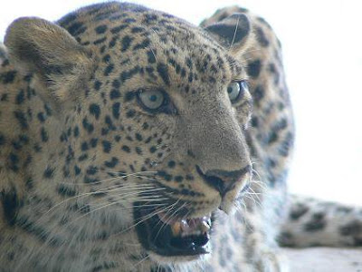 Leopardess