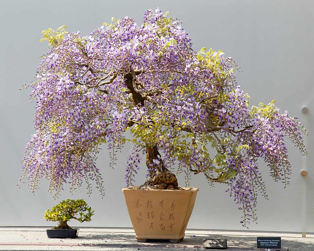 Japanese wisteria floribunda kuyshaku Bonsai Tree in Bloom
