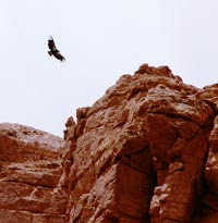 condor by Selep Imaging
