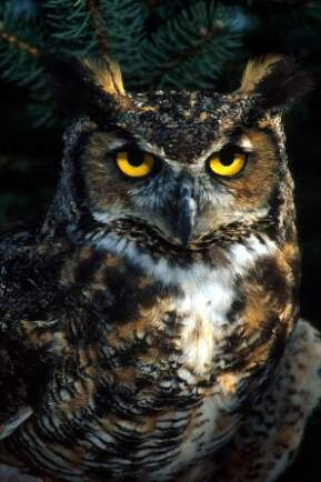 Live Love Laugh Great Horned Owl Serenade