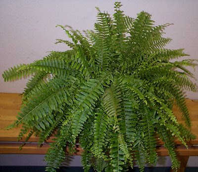 Boston Ferns Are One Of The Older House Plants Around And Have Been Por Since Victorian Times This Relative Sword Fern Which Grows Naturally In