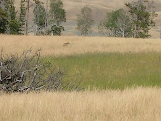 Lupo a Yellowstone