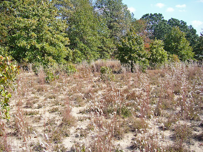 Sand prairie habitat for Cicindela scutellaris in southeast Missouri.  Note the well-spaced clumps of grass, in this case splitbeard bluestem.