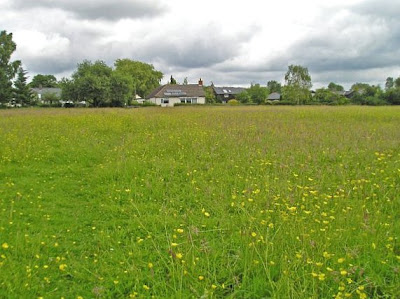 Buttercups in the meadow behind the houses at Row Green