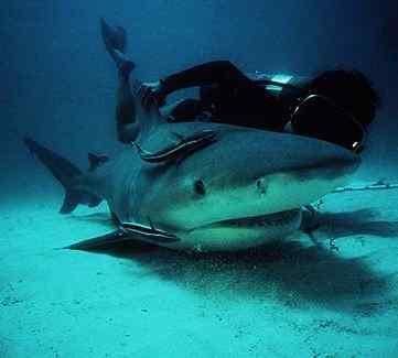 Bull Shark picture 3