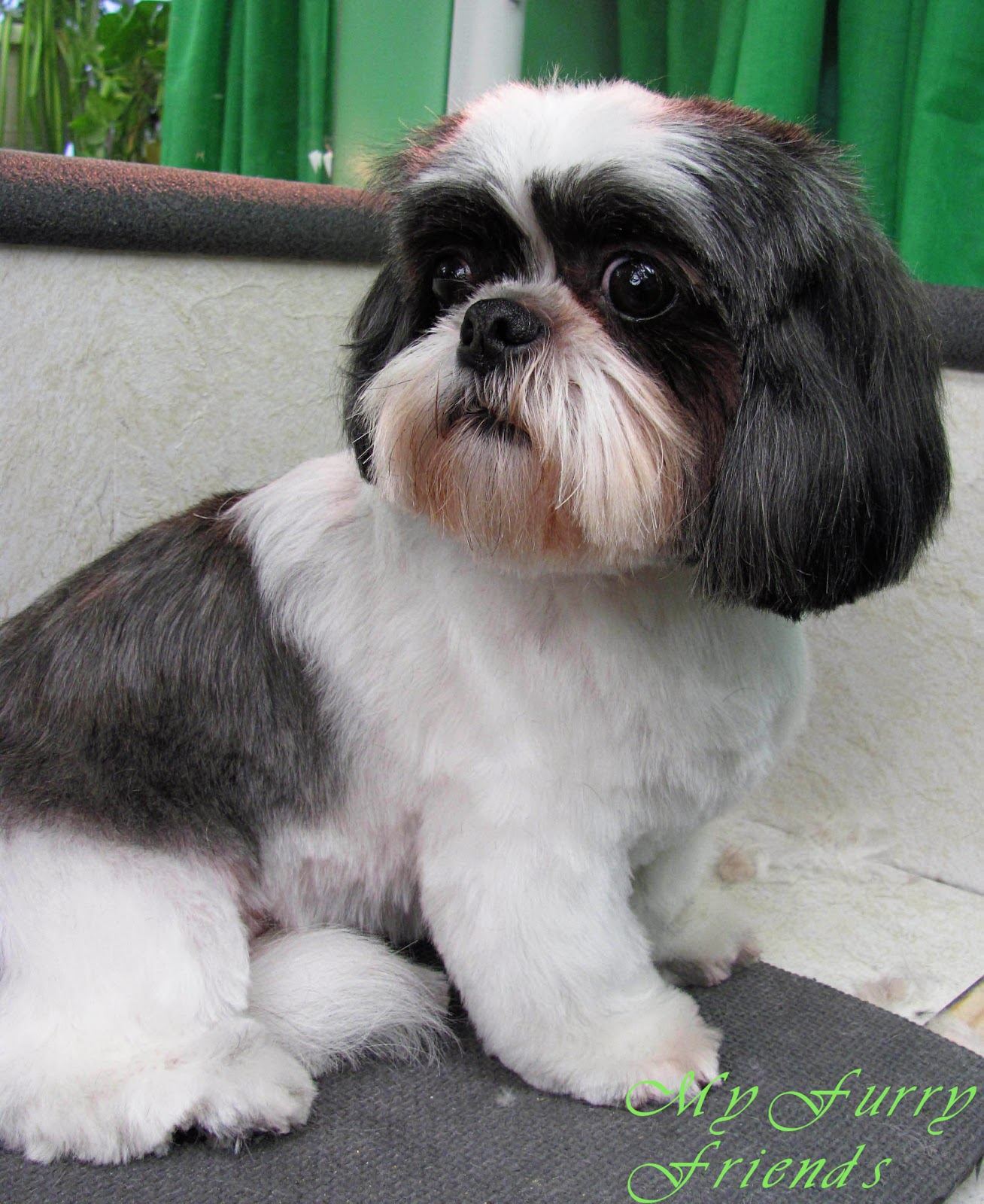 images of shih tzu haircuts pet grooming the good the bad the furry shih tzu day 1013