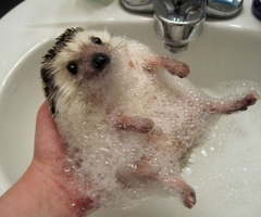 0a99f0684 Why can't they just share the hedge?' Q: Would you like to see a picture of  a hedgehog getting a bubble bath?