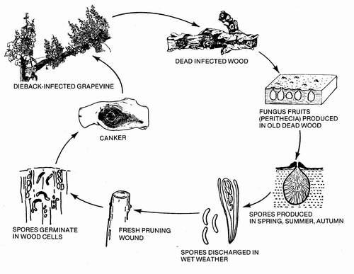 Yesca y Eutipiosis de la vid