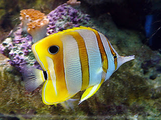 Fotos de peces acuarios fotos de peces imagenes mariposa for Peces marinos para acuarios pequenos