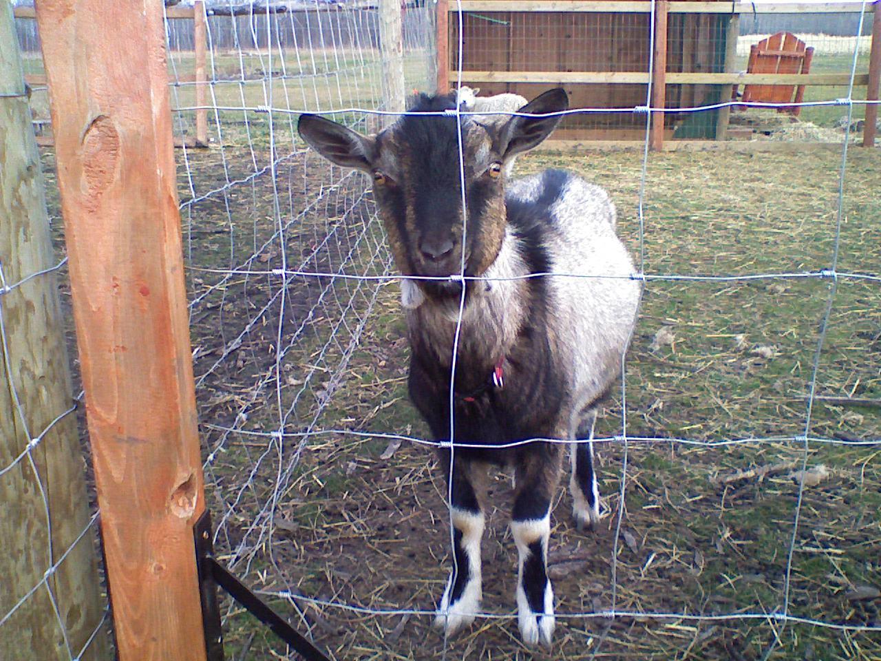 Hobby Farming Goat Basics