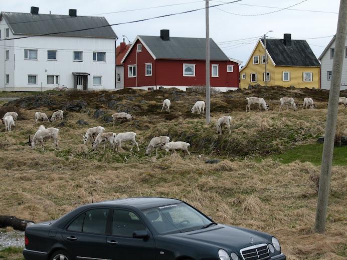 Reindeer in Town