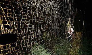 arañas más venenosas del mundo