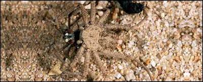 Araña de arena de 6 ojos