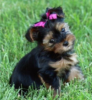 Sa Pet Lovers Grooming Your Yorkshire Terrier