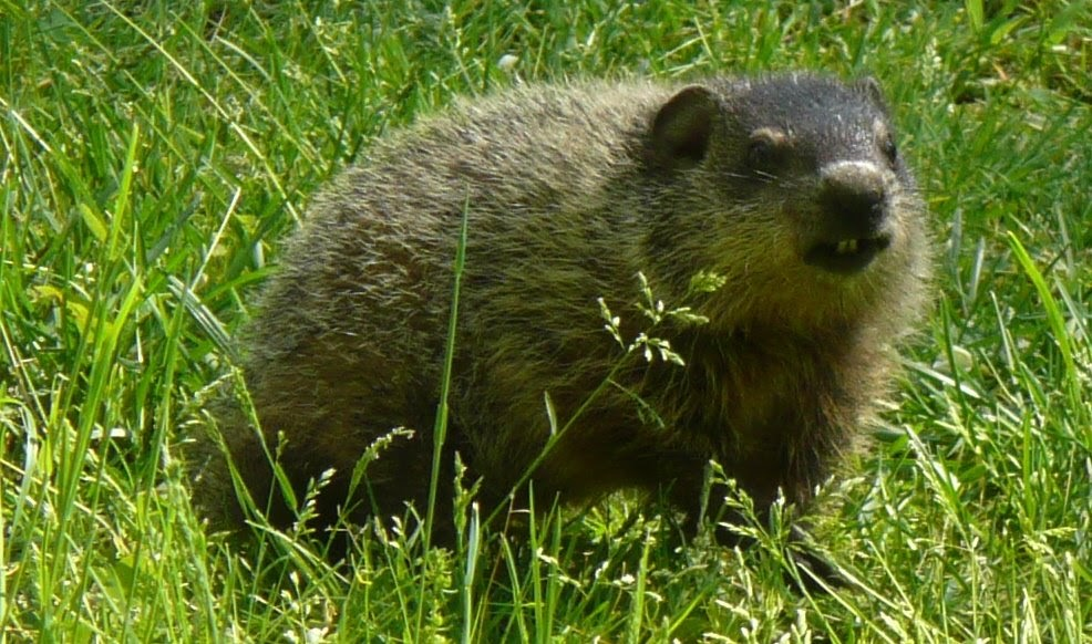ViCarrie!: I heart groundhog/gophers!  ViCarrie!: I he...