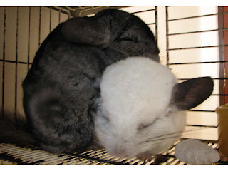 how to keep a chinchilla happy