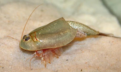 Triops Are Small Crustaceans In The Class Branchiopoda That Grow Quickly And Massively Reaching Three Inches Or Longer At