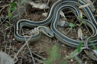 Profiles of Herping: Texas Patchnose snake