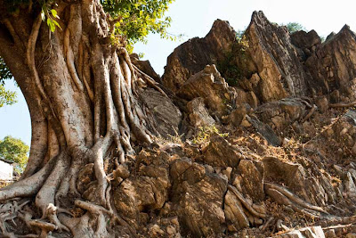 Posted by Vibha Malhotra at www.travellingcamera.com: The Legendary Marble Rocks at Bhedaghat near Jabalpur @ Madhya Pradesh, INDIA: 23 kms from Jabalpur, at Bhedaghat, the river Narmada has carved beautiful formation out of the marble rocks. People have managed to recognize familiar shapes out of these formations. Some of them being Shiv Parvati, Bull's head, Elephant's foot etc. You can book a boat ride to look at these formations.: An Old Tree that has held on tight to the rocks for years