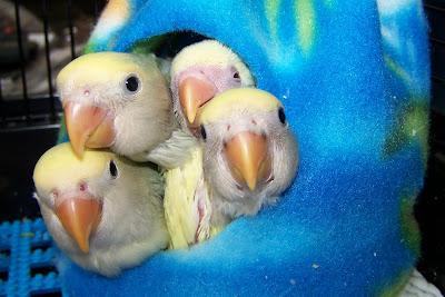 Our Lovebird Babies!