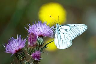 Mariposas, mariposas. que emergieron de lo oscuro. Bailarinas silenciosas.
