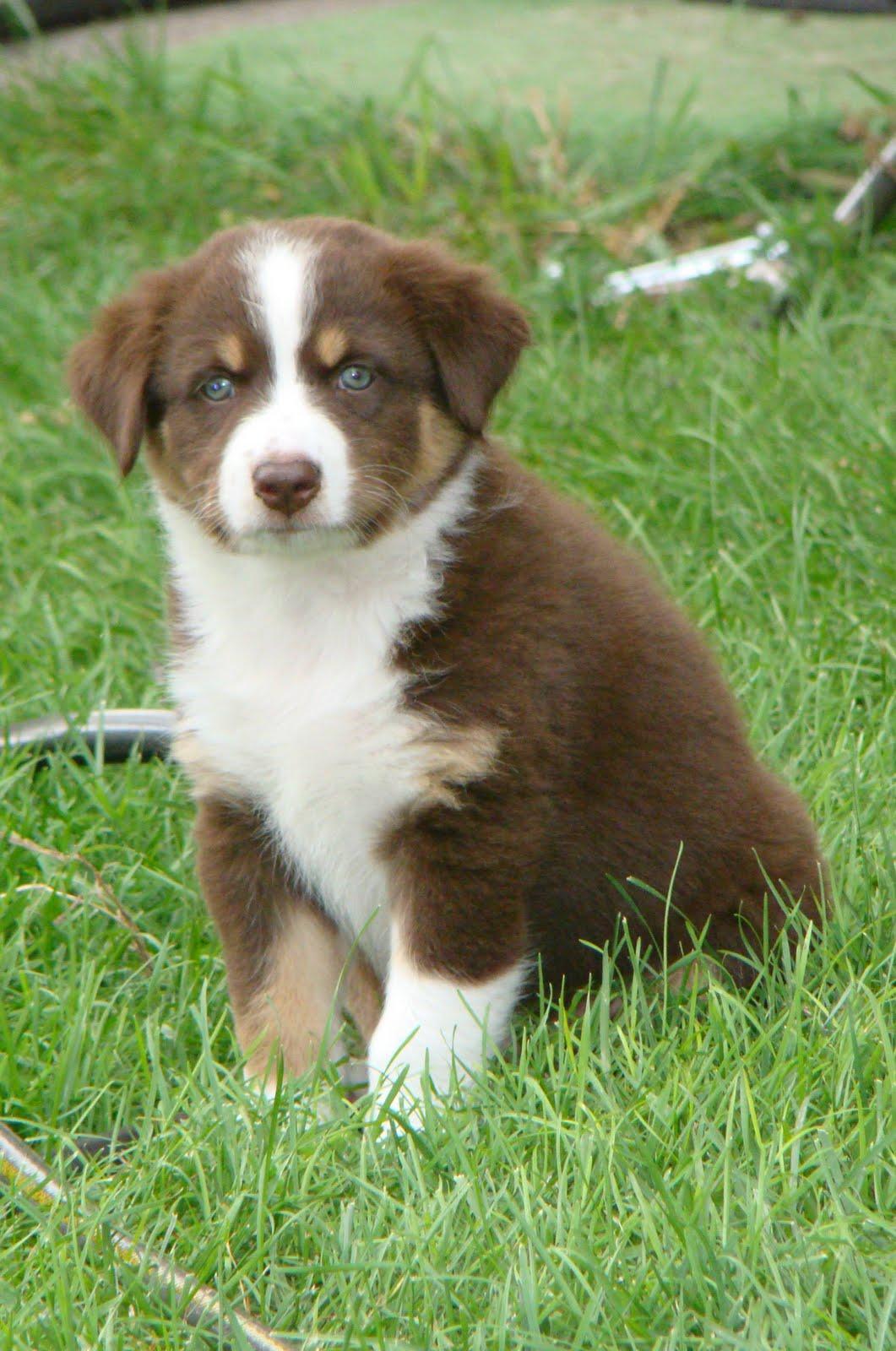 Aussie Puppies For Sale: SUMMER 2010 LITTER: Puppy #1: Red ...