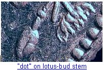 [lotusbud.bmp]