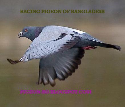 Bangladesh Racing Pigeon