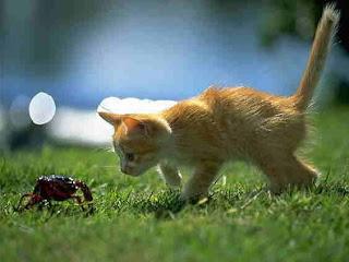 Condromowo, sejenis kucing biasa?