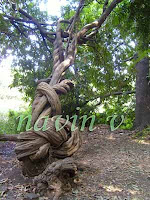 Knotty Tree in Empress Garden at Pune in India